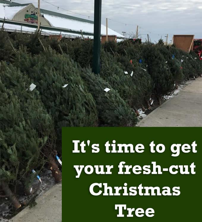 freshcut Christmas trees