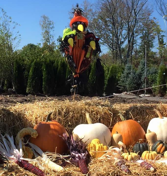 pumpkins-cornstalks